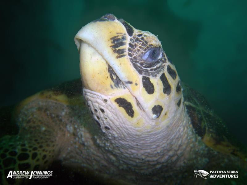 Hawksbill Turtle Pattaya Thailand