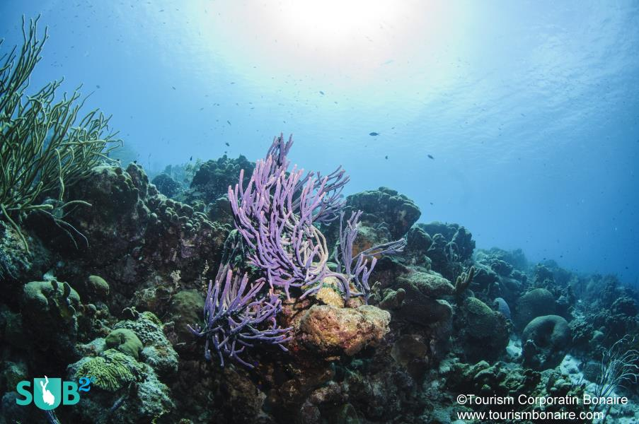 Healthy Corals and Sponges Decorate Bonaire's Reefs.