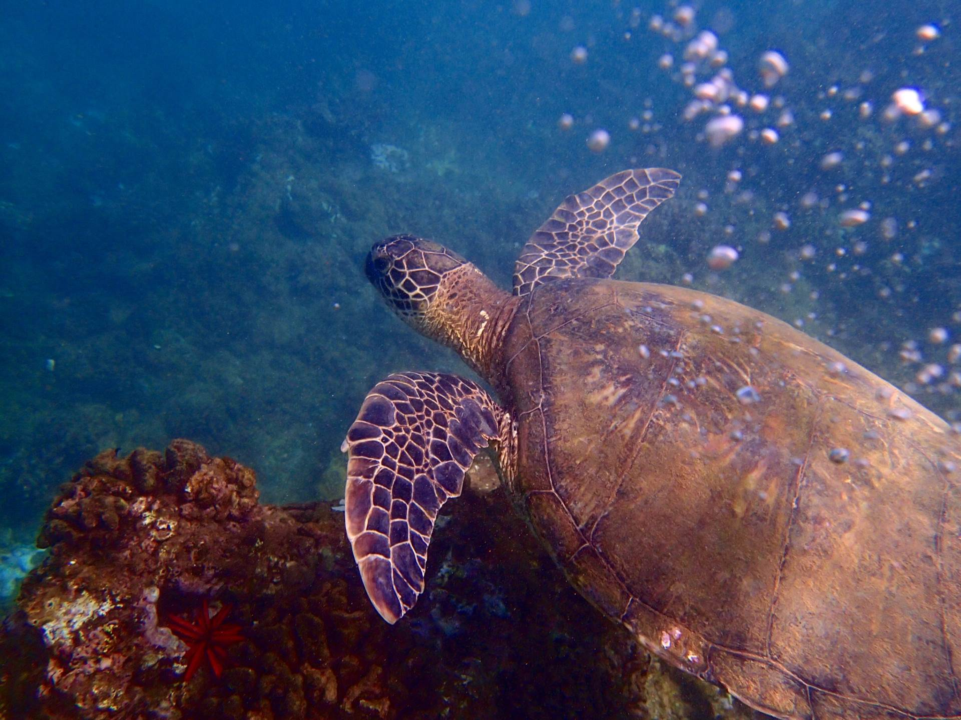 Diving alongside Hawaiian Green Sea Turtles, Maui in winter.