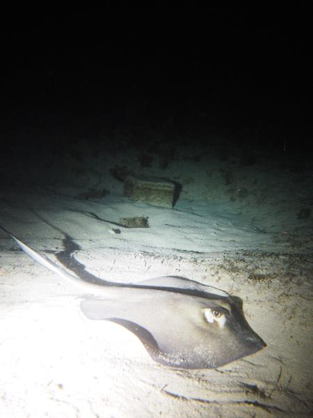 Hunting Stingray