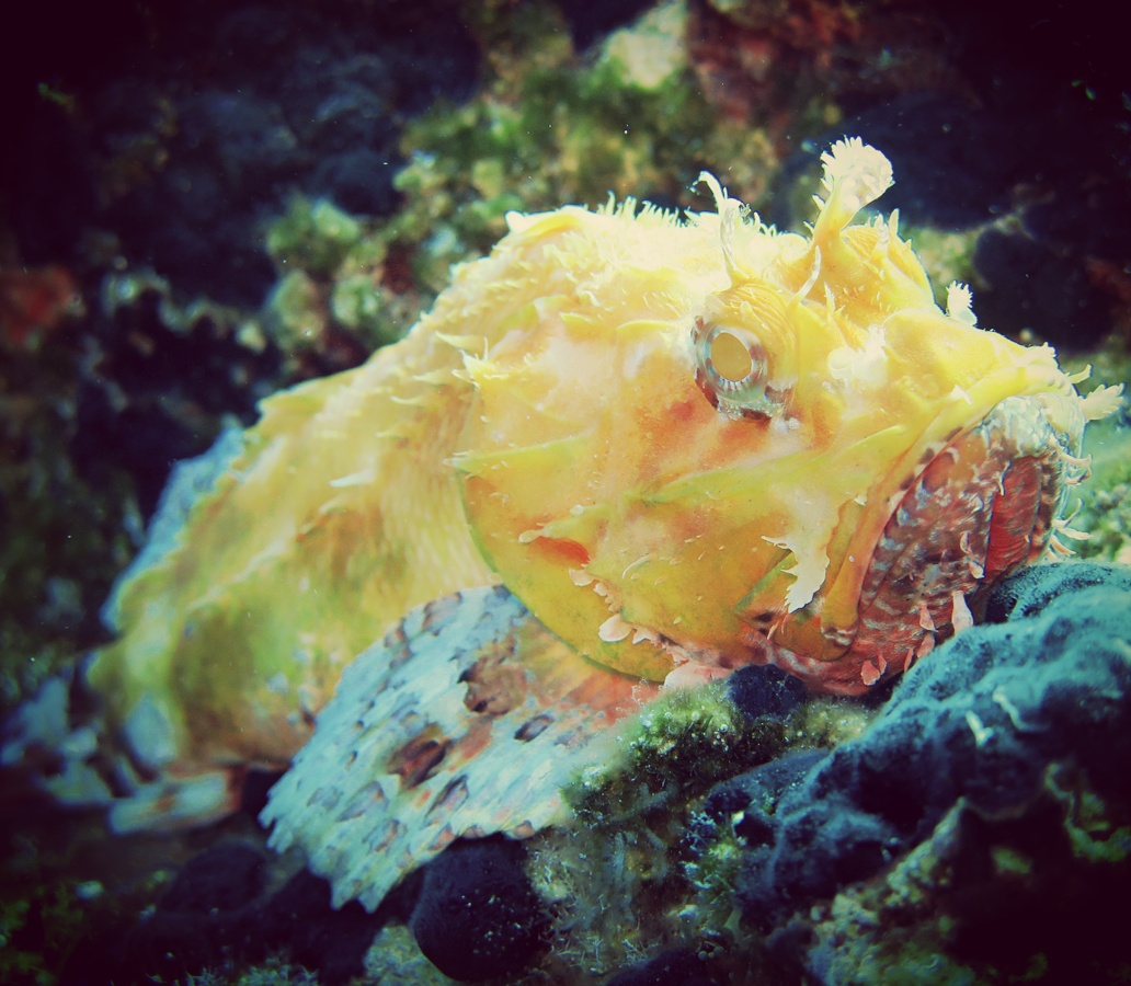 Albino Scorpion Fish