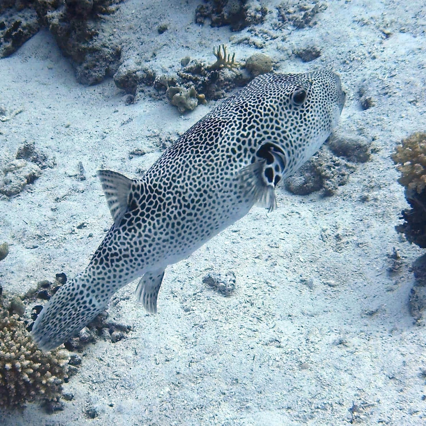 Large puffer fish