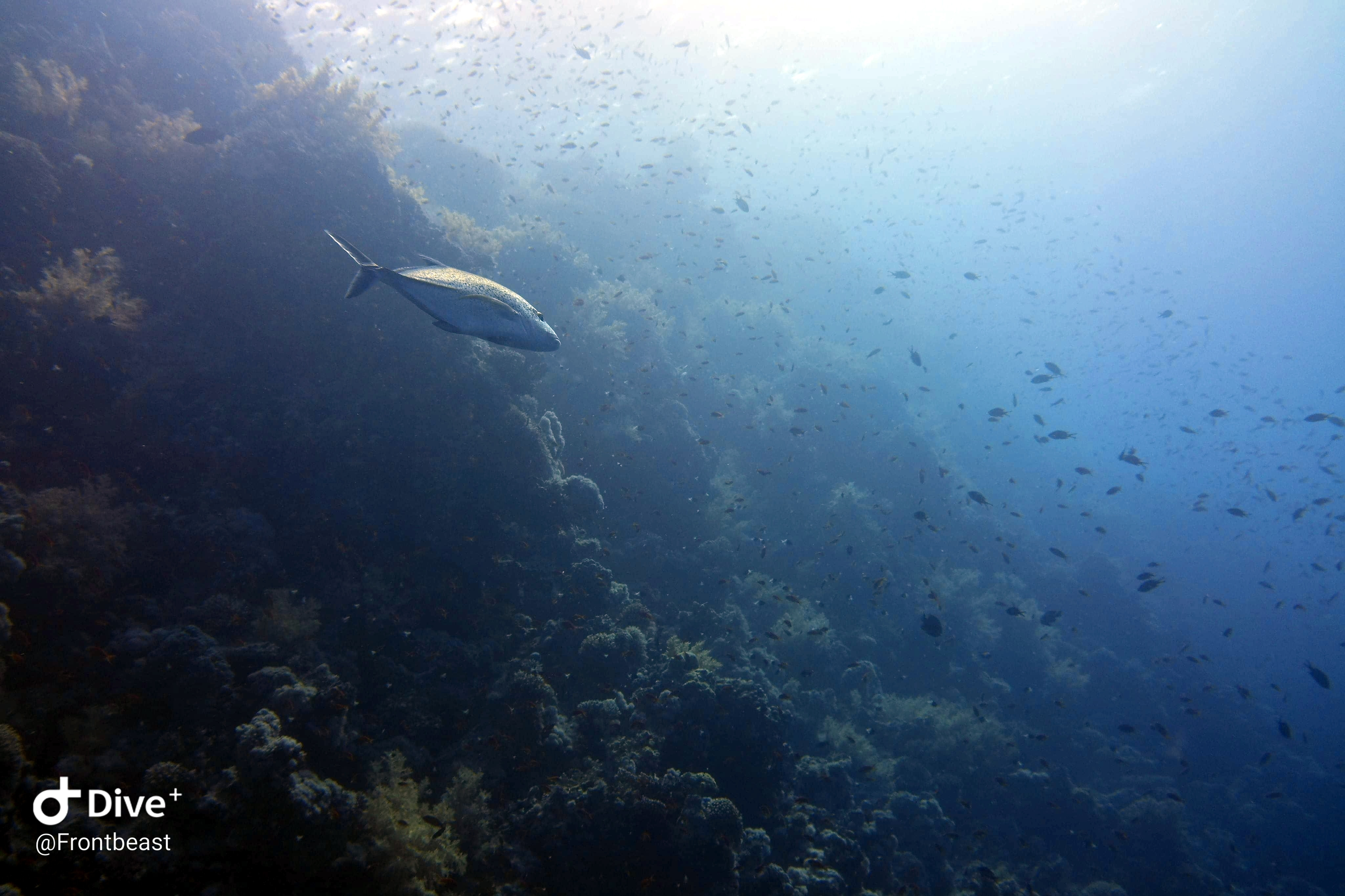 Trevally passing by
