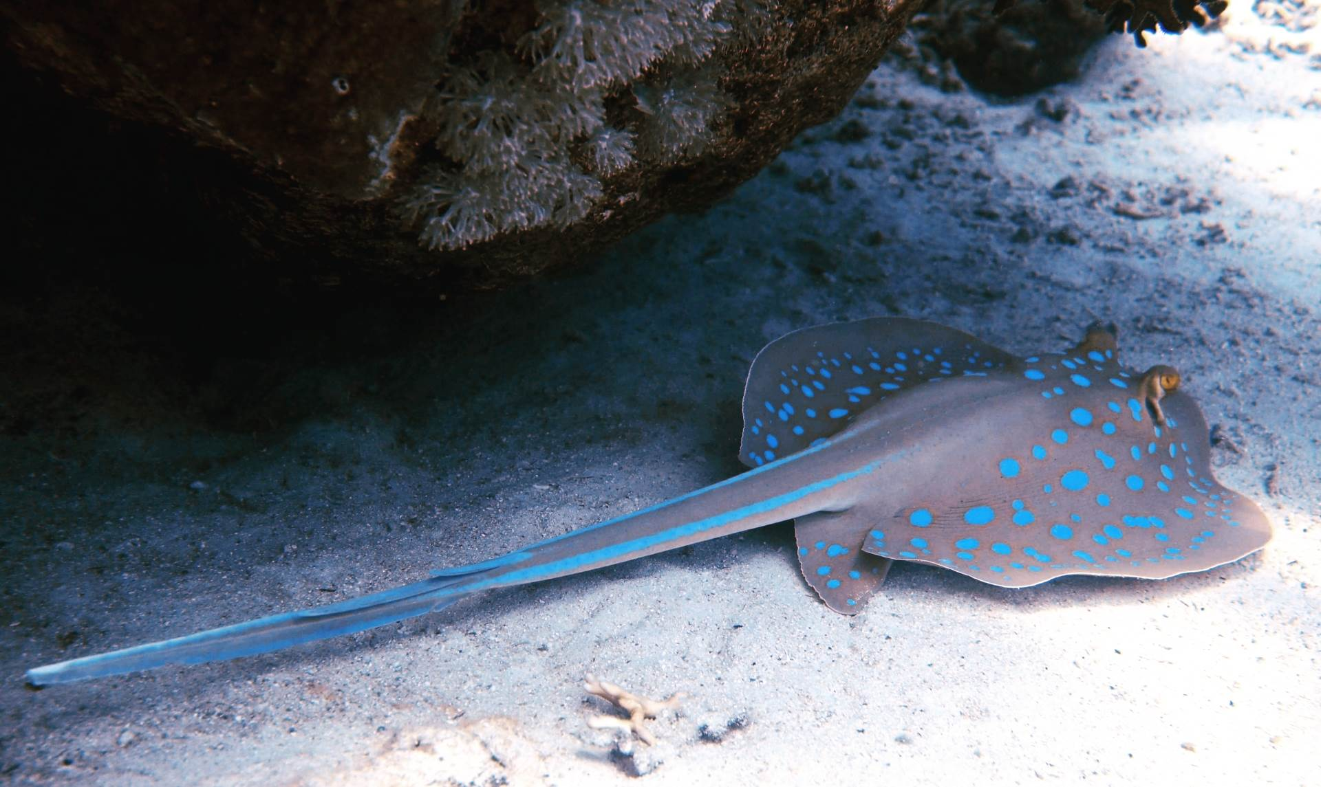 Beautiful bluespotted stingray ready for take off