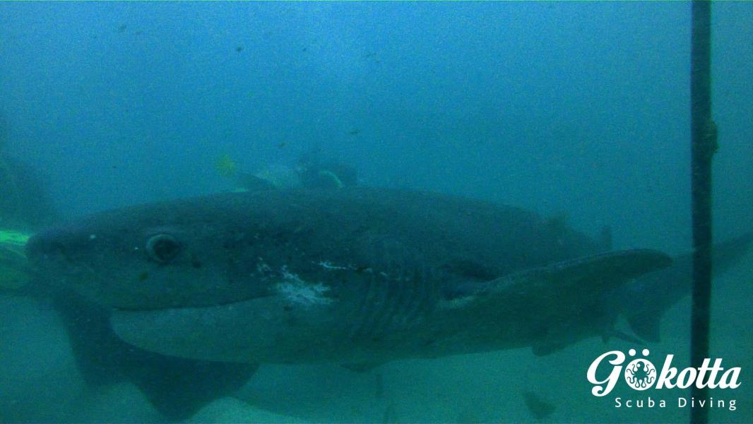 Inquisitive cowshark