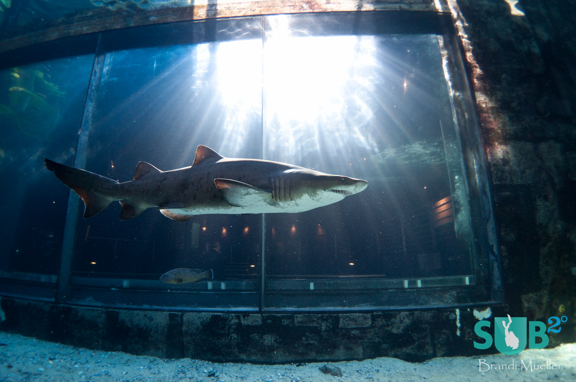 A ragged-tooth shark passes in front of the viewing area of the Predator Exhibit at Two Ocean Aquaruim.