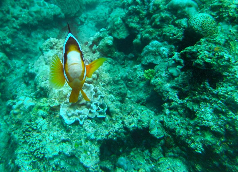 Inspection by a Clownfish