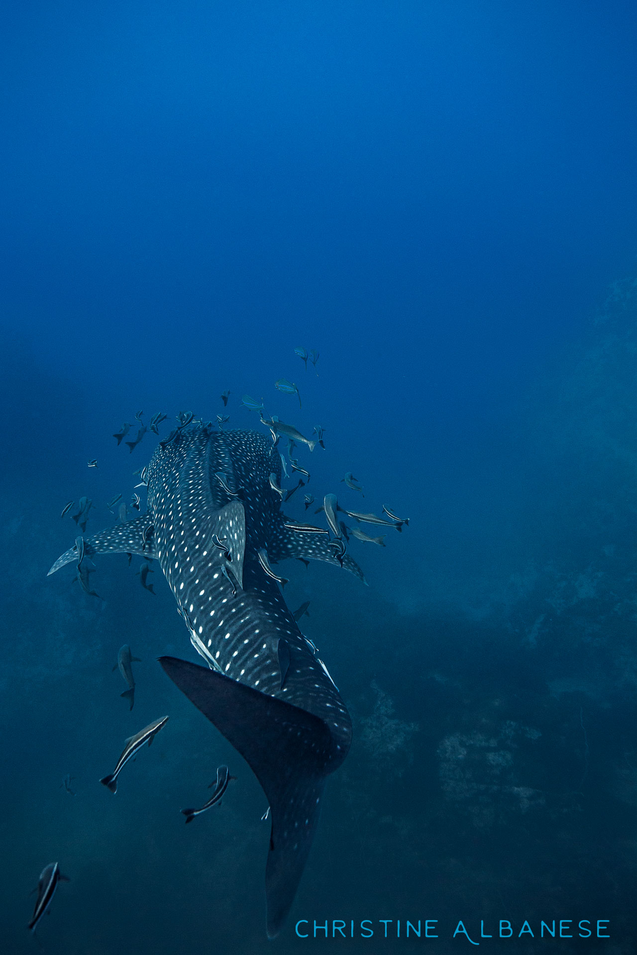 "Whale Sharks are easily one of my favourite marine animals. Gentle, curious and largely magnificent. This one was young, being ""only"" 3.5m-4m long... But they can grow to be up to 12 metres in length!  This one photographed here was the second one I've ever seen, spotted in May 2015 at Southwest Pinnacle. 😍  #scuba #scubadiving #divinglife #whaleshark #sharks #ikelite #ds160 #canon6d #canon1740 #wideangle #kohtao #thailand #southwestpinnacle #ocean #marinelife #adventure #discover #marvelous #spots #curiouscreature #biggestfish #underwater #underwaterdiving #underwaterphotography #uwphotography #padi"