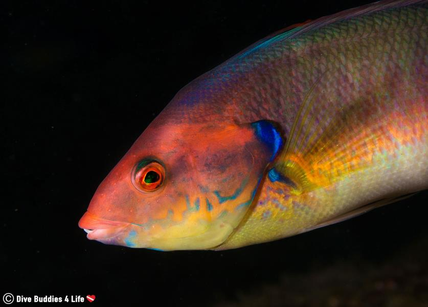 It's a rainbow (wrasse) of colors underwater