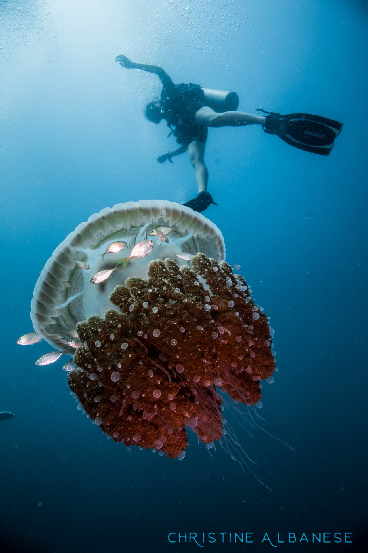 A diver observes a jellyfish from above at Sail Rock. This was shot in December when the visibility around Koh Tao isn't so great - but we managed to spot this large jellyfish in the blue just off the main pinnacle.