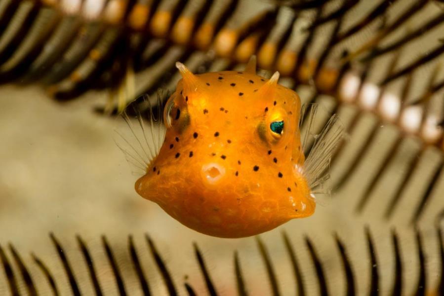 Juvenile Cowfish