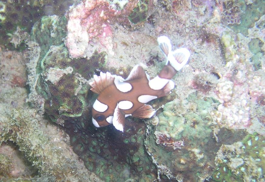 Juvenile Harlequin Sweetlips at Ao Sane 03