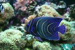 Juvenile Semicircle Angelfish