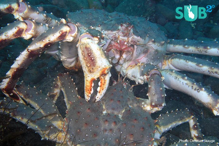 King crabs mating