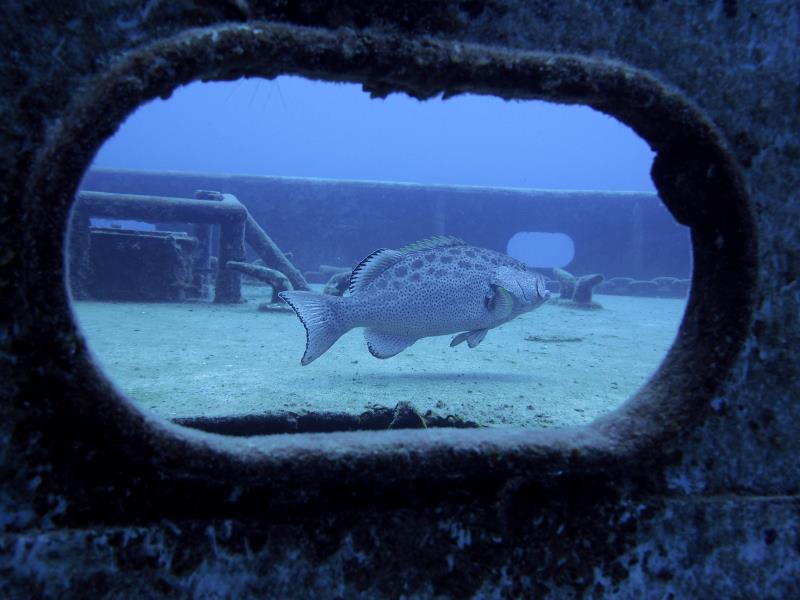 Kittiwake Grouper