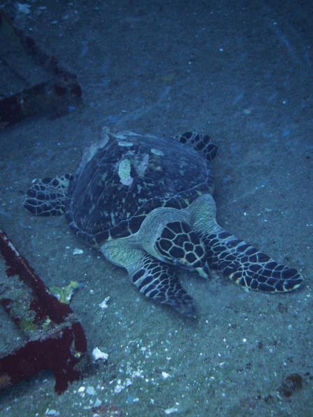 Kittiwake Turtle