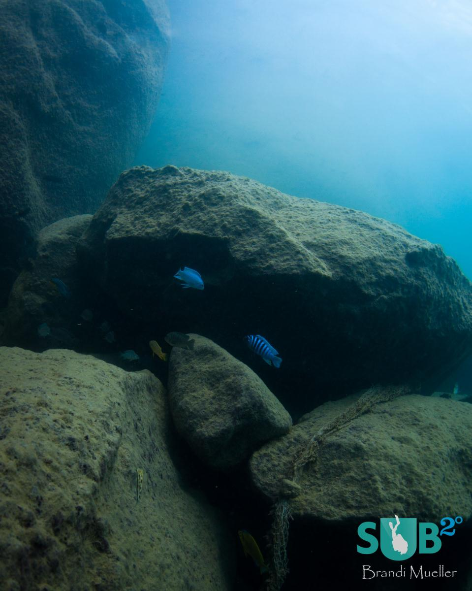 The cichlid fish often live around boulders and rocks.