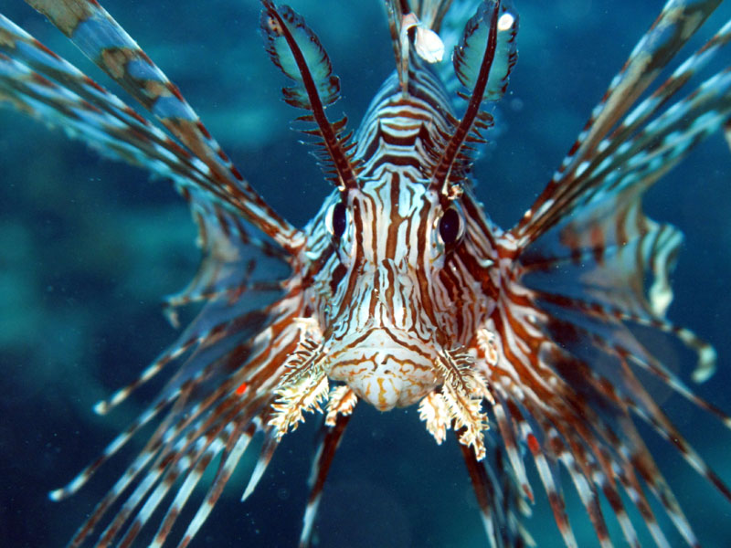 Red Lionfish (Pterois volitans) coming to say hello on a dive at Faha Reef, Ha'apai, Kingdom of Togan.