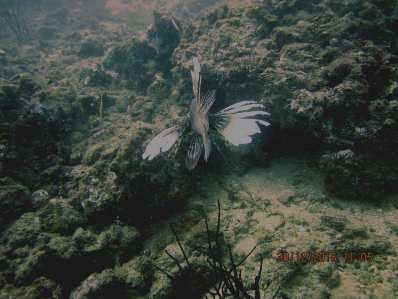 Lionfish 1