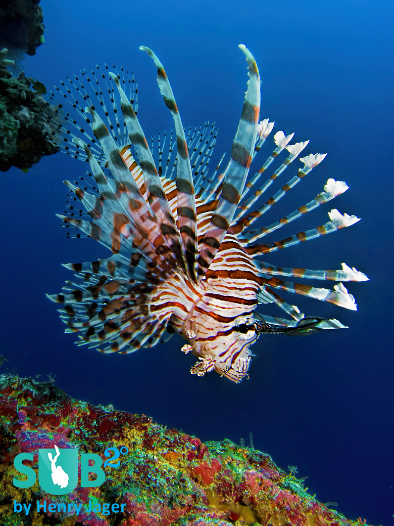 "Lionfish (Pterois volitans) from ""Apo Out""."