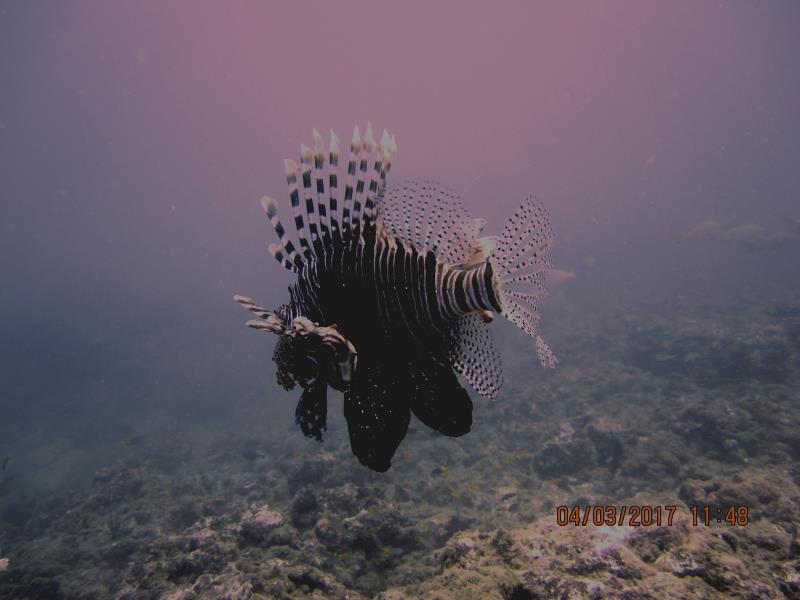 Lionfish 4