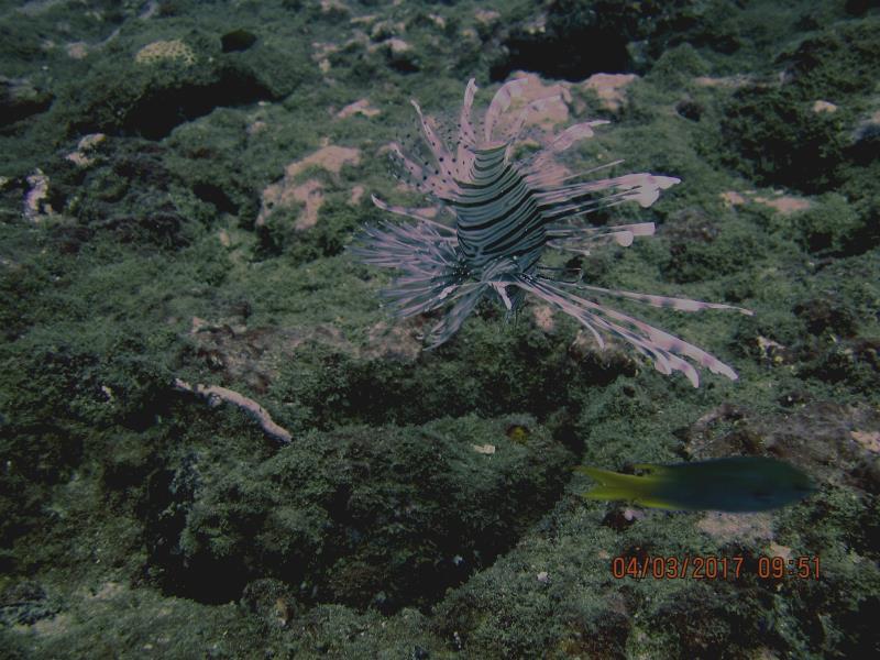 Lionfish 6