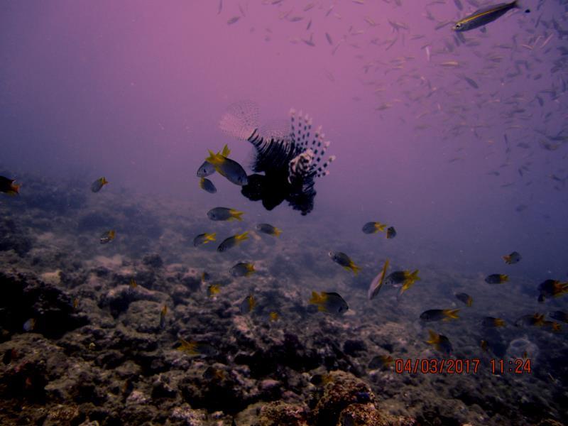 Lionfish fish