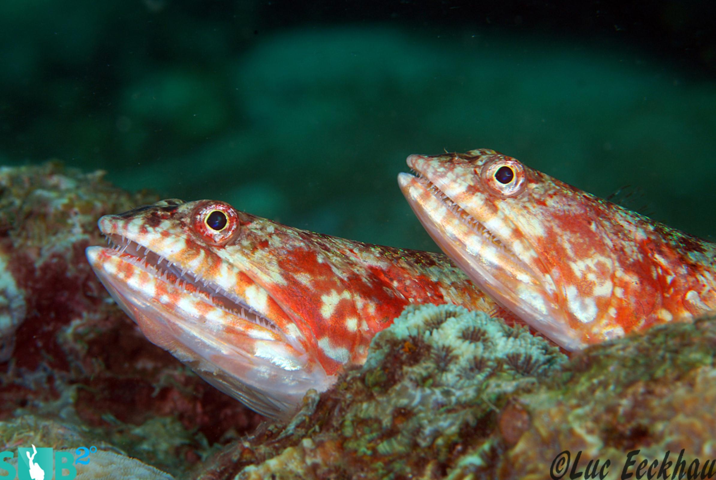 Two beautiful lizardfish resting together, just waiting for something to swim by.