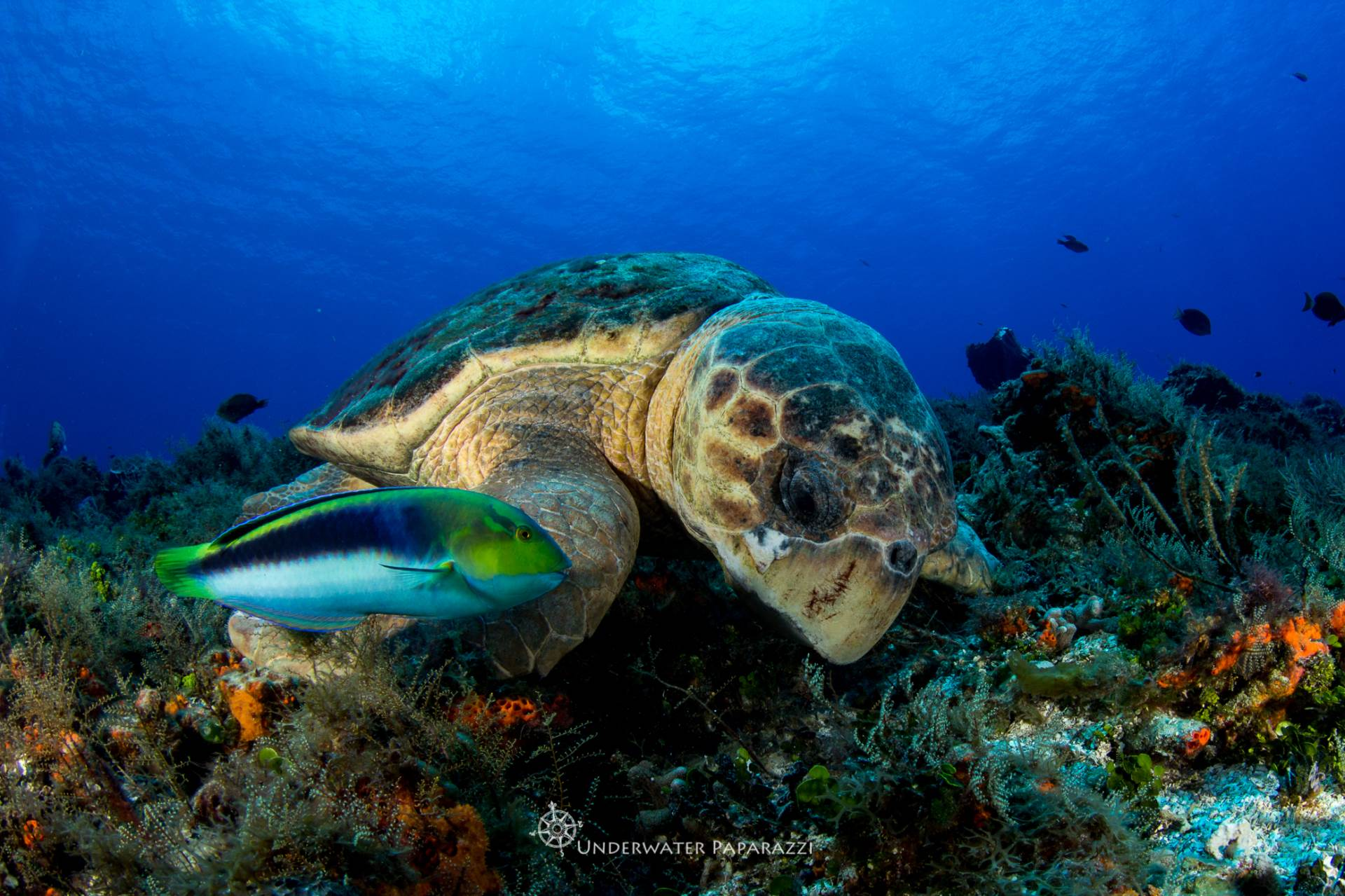 Gorgeous and HUGE loggerhead turtle in amazing Cozumel viz. The turtle was the largest I've personally ever seen underwater, estimating at about 5 ft in length!