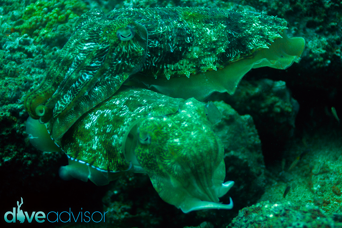 It feels really awkward taking photographs of cuttlefish in heat. Its as if they look at you in disgust, asking where your sense of shame has gone in a British victorian accent, all with their eyes. The good thing though, is when they are mating, they dont run away, at all - they are far too engaged in their activity to care about a silly diver with a camera.