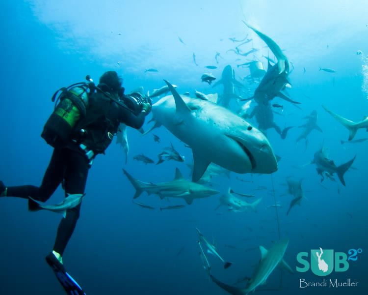 Make Way for the Tiger Sharks