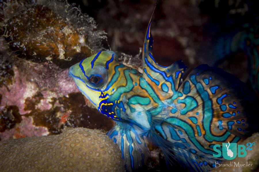Male Mandarinfish