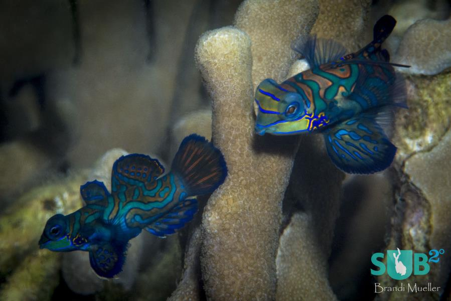 Mandarinfish Courting