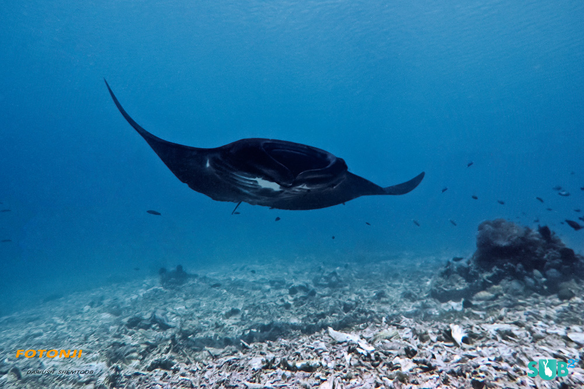 Giant Manta Ray approaching the cleaning station