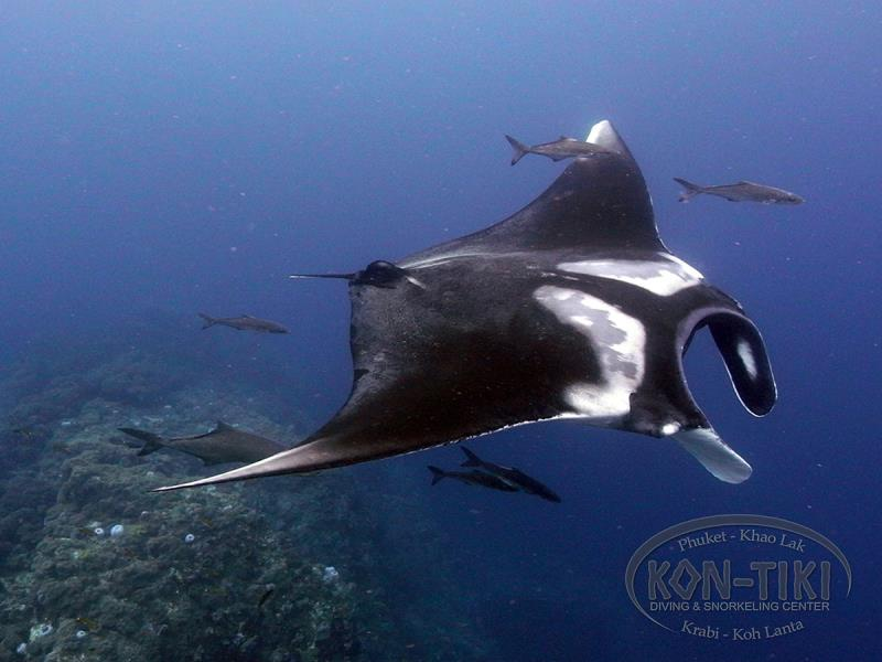 Manta Ray Kon-Tiki Diving Thailand