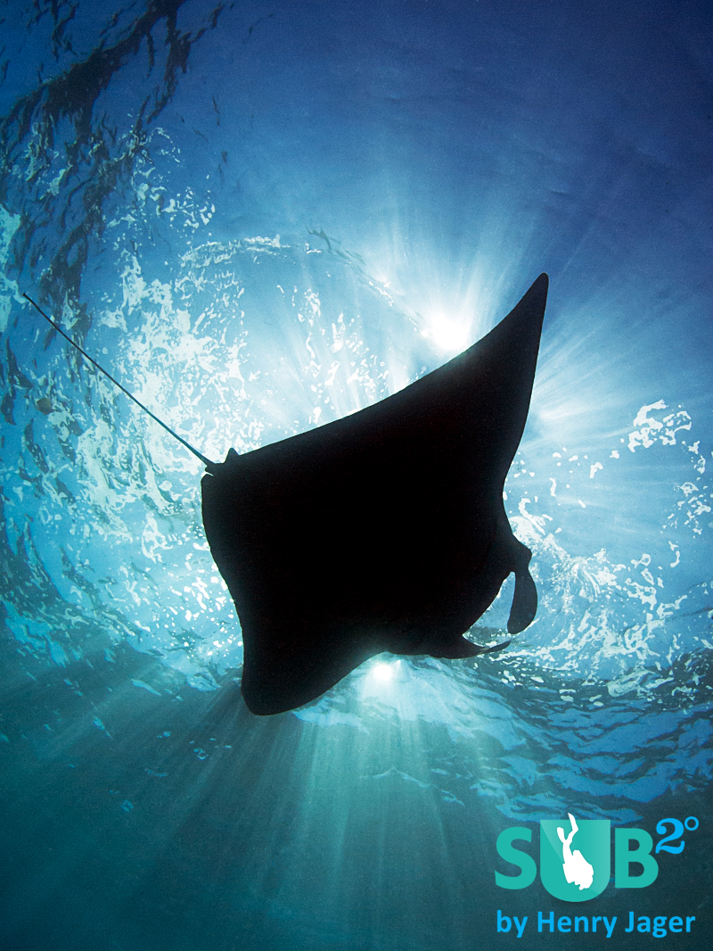 Dancing just below the surface, Manta rays offer a special kind of show.
