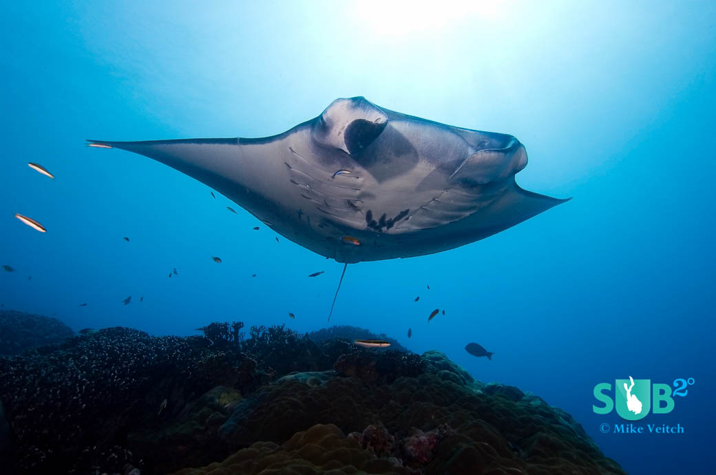 A manta ray visits a cleaning station in Yap, Micronesia.