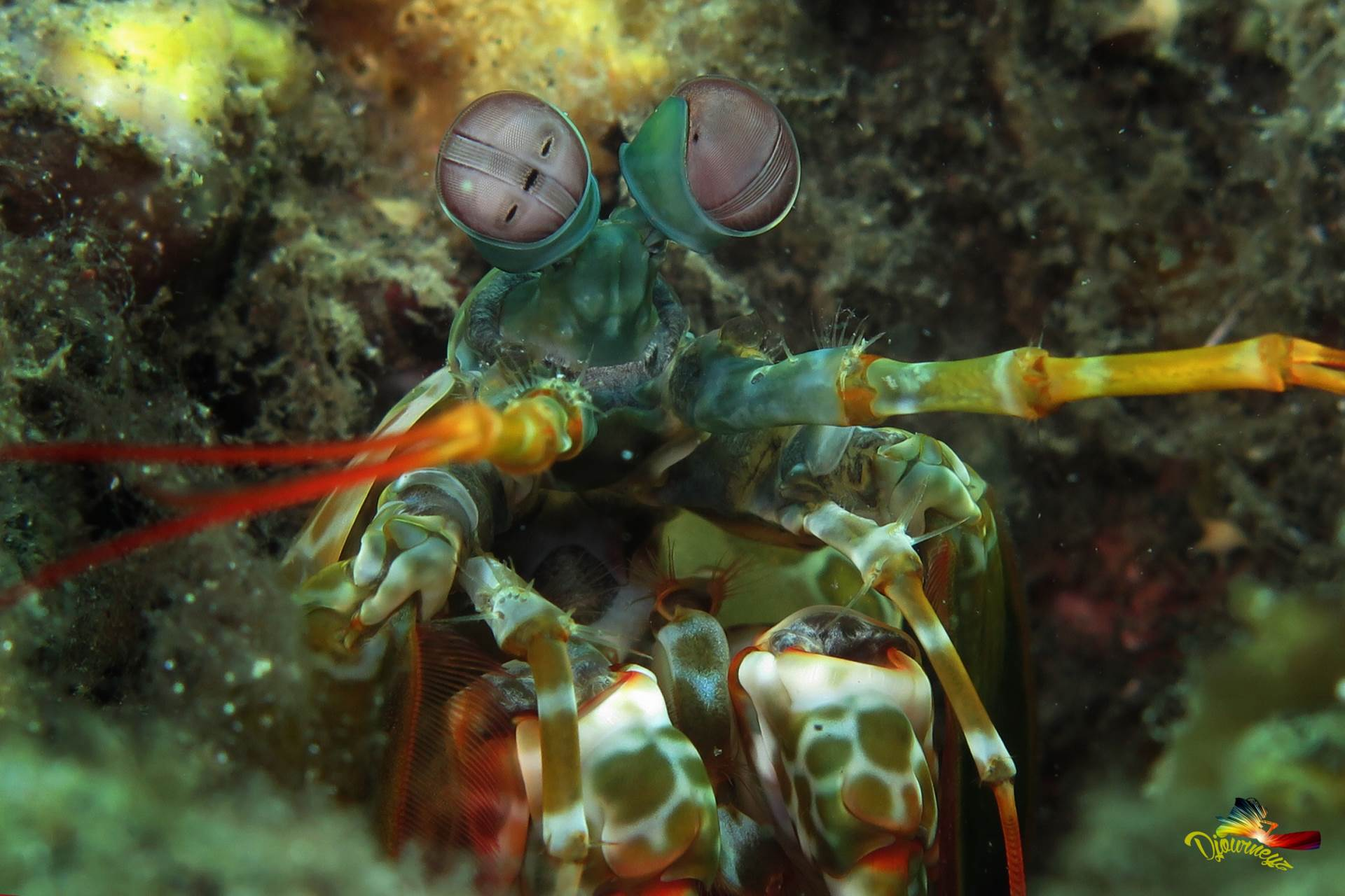 Catch this Mantis while muck diving in Melasti Point, Amed Bali
