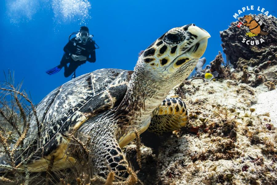 MapleLeaf_Scuba_Diving_Cozumel_Diver_Padi_Turtle_Mexico