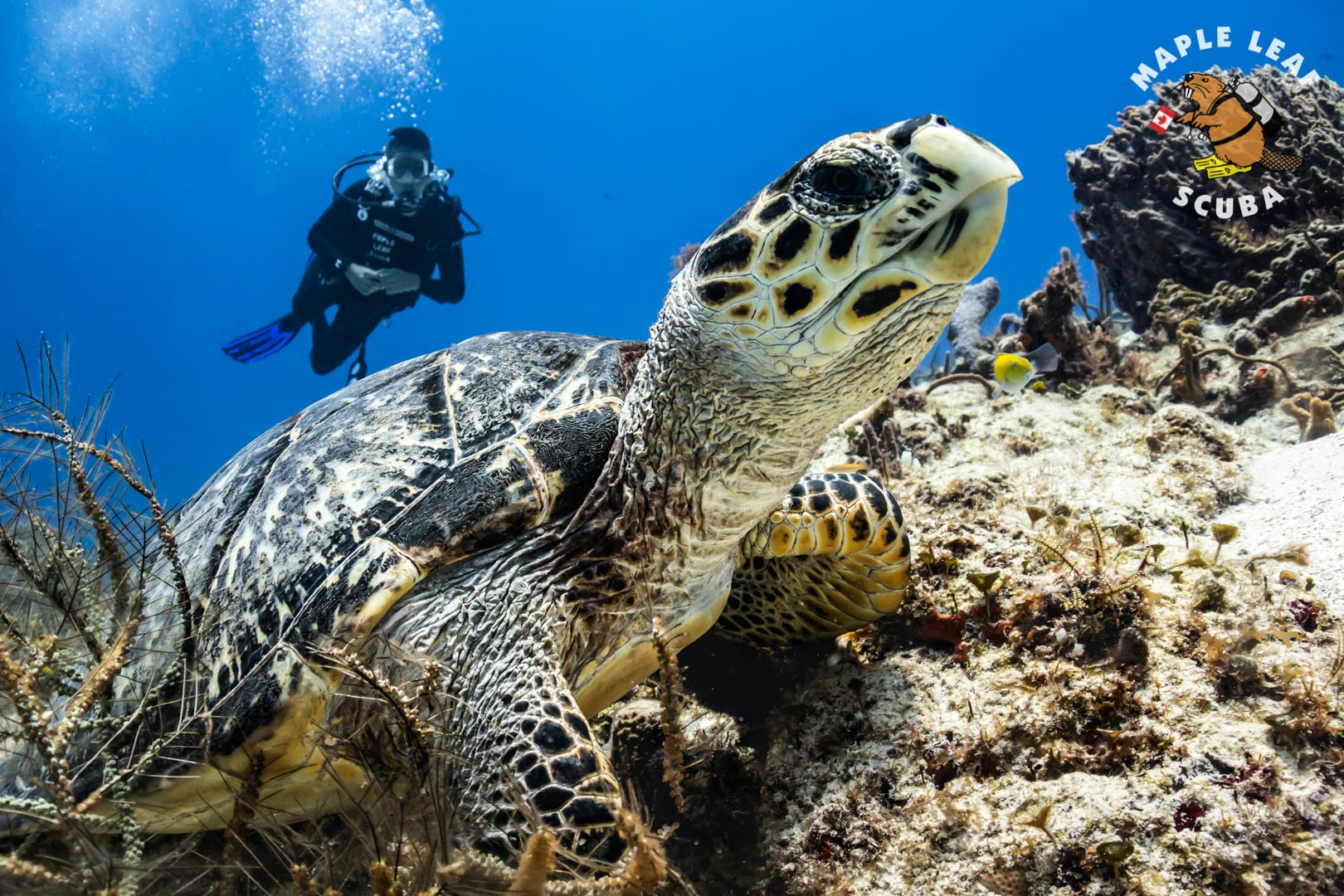 Open water student posing with a Hawksbill sea turtle during the last dive of his certification course.