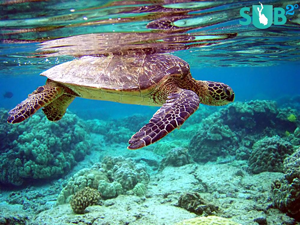 A graceful green sea turtle in the waters of Sangalaki Island
