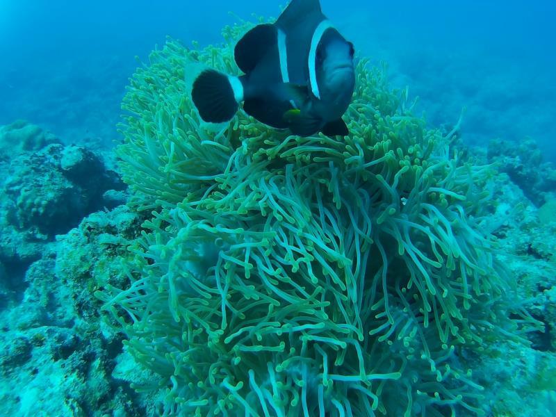 Mauritian Clown fish