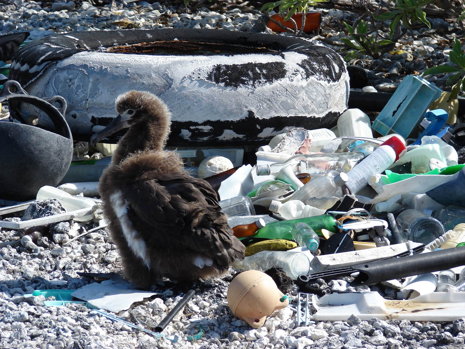 Laysan albatross chick in the middle of marine debris, Midway Atoll, Spit Island