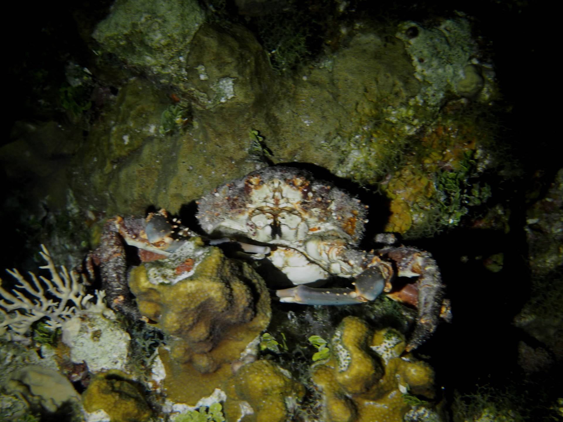 Channel Clining Crab