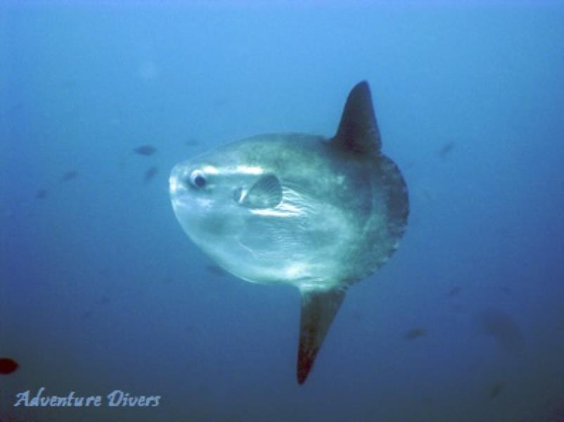 Moon Fish, Pez Luna