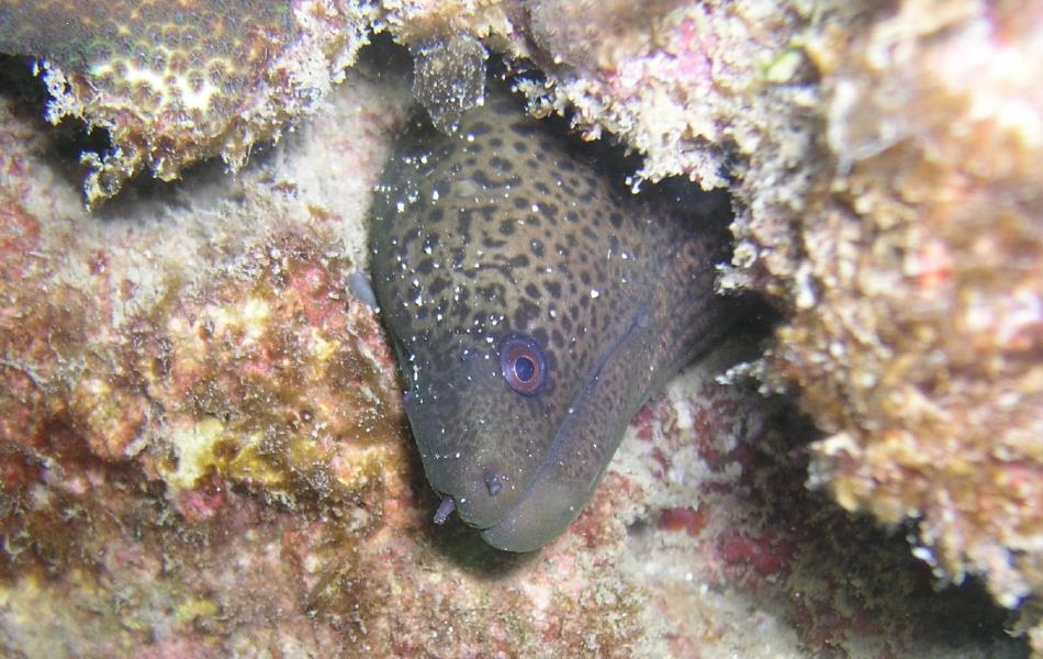 Moray Eel at Ao Sane 02