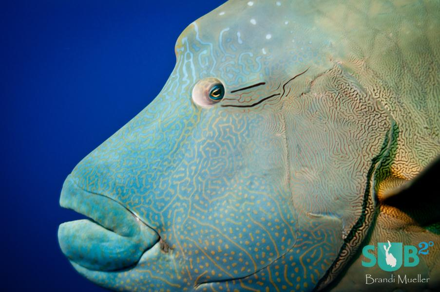 Napoleon wrasse at Blue Corner