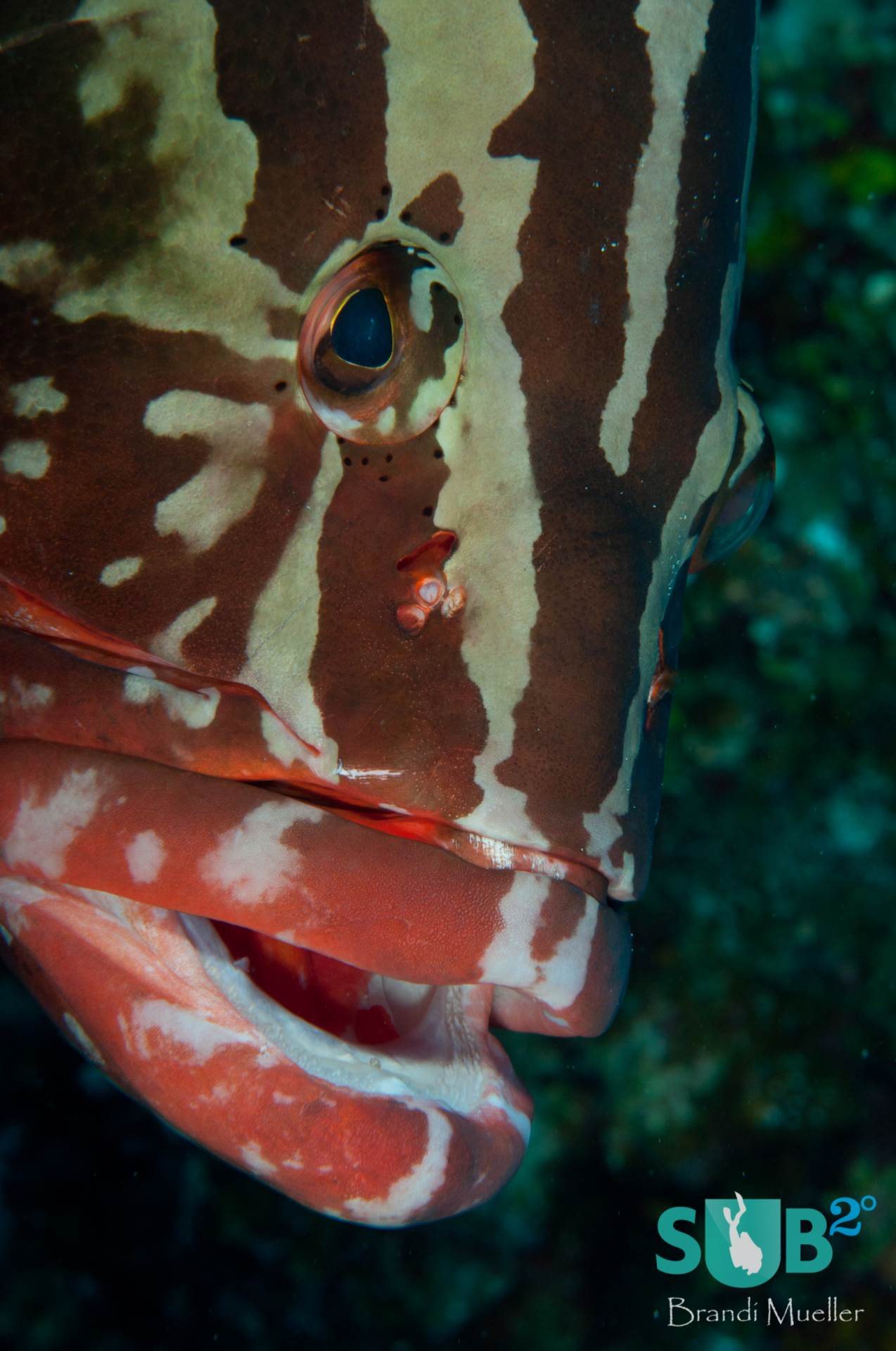 A friendly Nassau Grouper poses for photos at Rock Garden, Turks and Caicos.