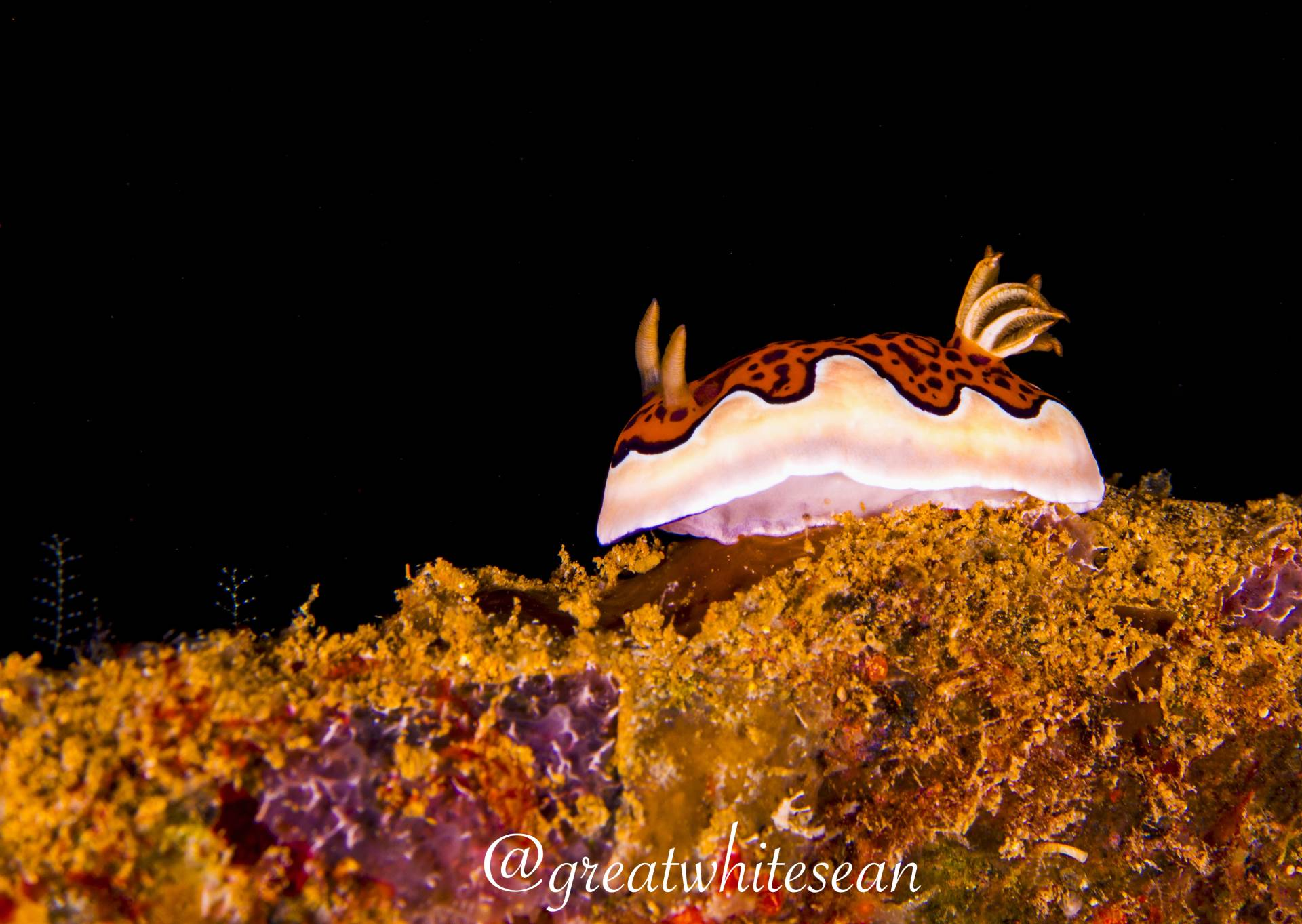 This Nudibranch (Chromodoris gleniei) was slowly working it's way across the ledge of a swim through window on the wreck