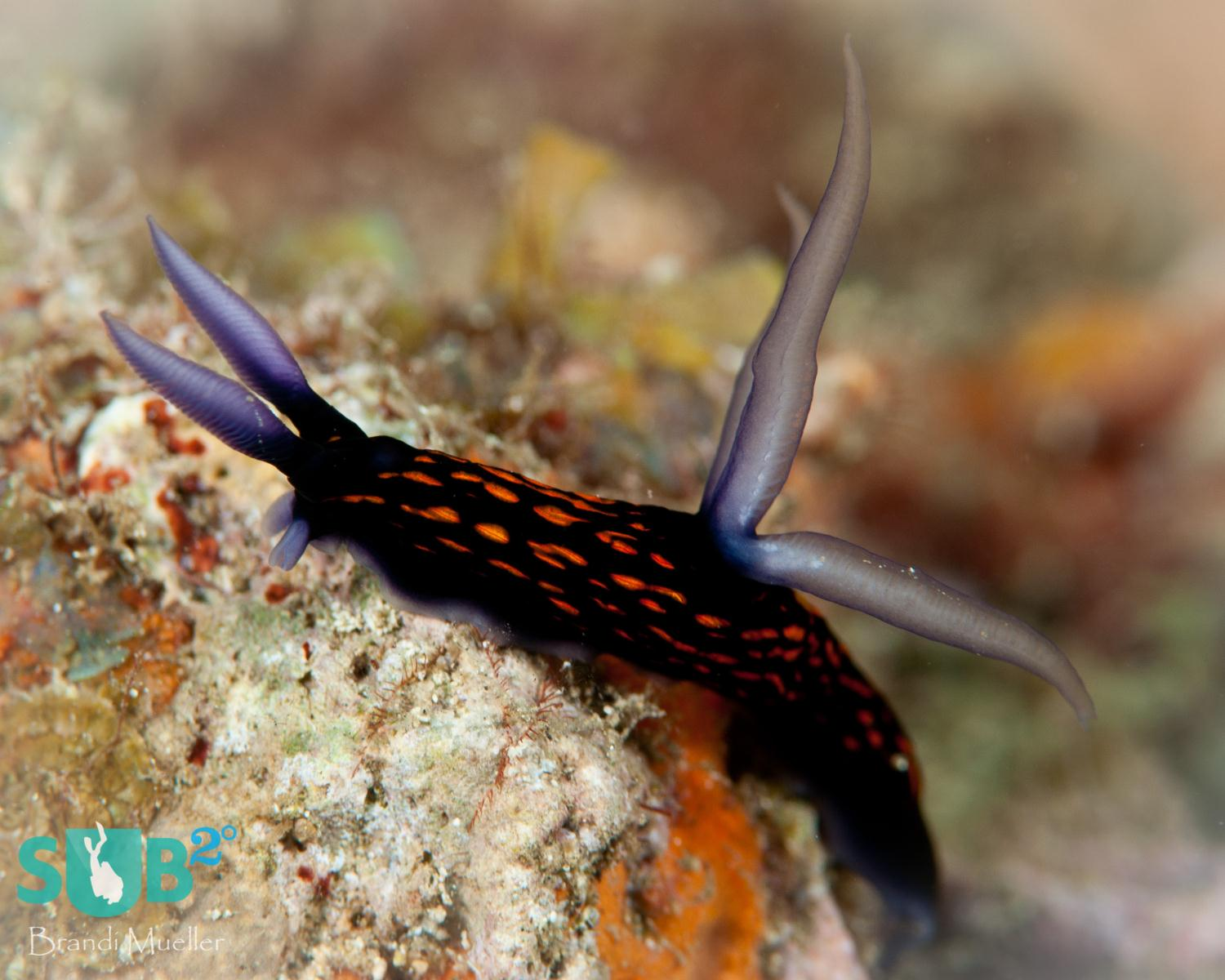 There are more than 3,000 known nudibranch species and they come in all different colors.  This one was seen in Papua New Guinea.